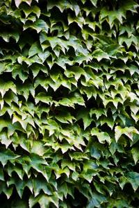 Bruna blad på en Ivy anläggningen