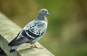 Pigeon Racing Sprint Tips