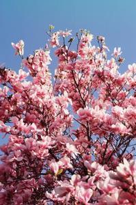 Dekorera Cherry Blossom träd för ett bröllop