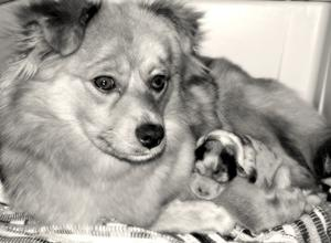 Hur man ger en nyfödd valp rädda andetag & HLR