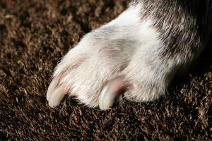 Svaga naglar hos hundar