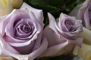 Typerna av lila rosor