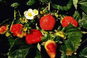 Hur man odlar jordgubbar i NFT Hydroponics