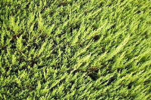 Vintergröna buskar som skärmar