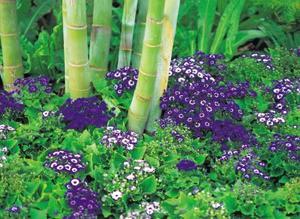 Kan du odla bambu i en utomhus potten?