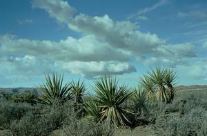 Hem rättsmedel för spinn på Yucca växter