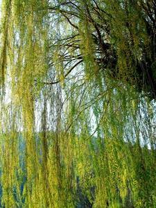 Hur man gör en miniatyr konstgjorda Willow Tree