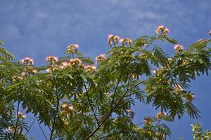 Frysa skador för en Mimosa träd
