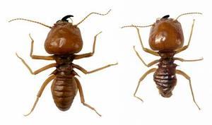 Hur att behandla trä för termiter