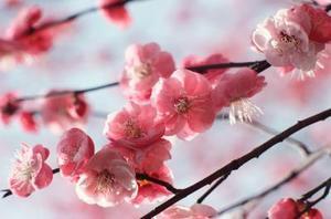 Billiga idéer för bröllop med Cherry Blossoms