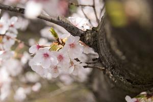 Blossom träd hantverk