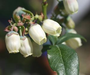 Hur man identifierar olika typer av blåbär buskar