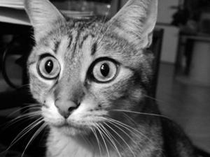 Hur man ger krossad drontal till en katt