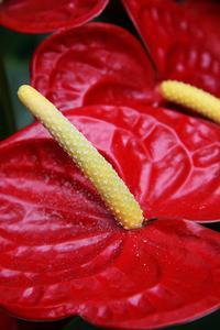 Hur till omsorg for en anthurium växt