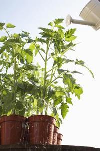 Effekterna av temperatur på tomatplantor