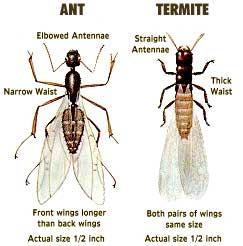 Skillnaden mellan myror & termiter