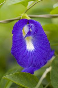 Vad är den vanligaste blå blommande vinrankan?