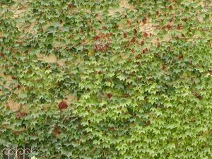 Hur man målar murgröna blad