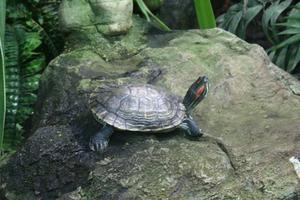 Hur till finna ut hur gammal är min karta sköldpadda?