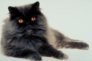 Hur vet jag om min katt har Chiggers?