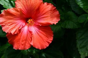 Hur bli av Mjölig fel på en hibiskus