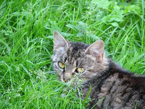 Feline cancerbehandlingar