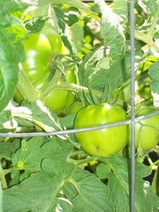 Tomat växande utrustning