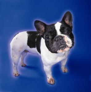 Kännetecken för franska bulldoggar