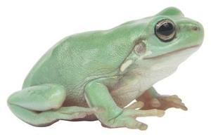 Vad äter gröna grodor?