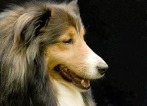 Hudproblem av sheltie hundar