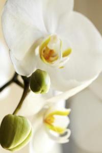Orkidéer som Symbol i den kinesiska kulturen