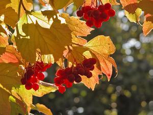 Följeslagare växter för rhodys & blåbär