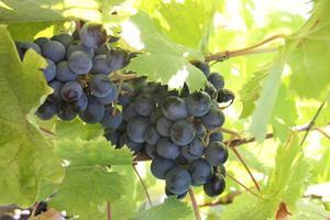 Hur gamla gör vinrankor måste vara att sätta frukt?