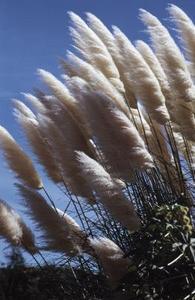 När bör jag trimma ryggen Pampas gräs?