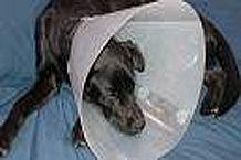 Hur man använder en Elisabetansk eller E-krage (lampskärm) på en sällskapsdjur
