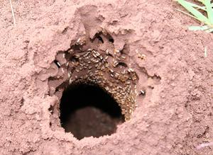 Hur man dödar termiter med Tide tvål & vatten