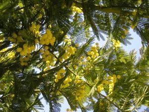 Mimosa träd skadedjur
