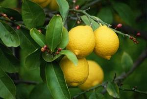 Hur man använder bakpulver för behandling av mjöldagg på citronträd
