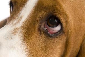 Hur man ger ögat salvor till hundar