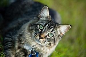 Hur man ger flytande medicin till en katt