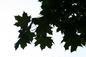 Hur man Beskär lönn trädrötter