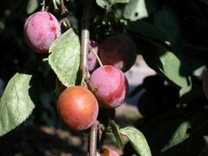 Hur brett ett plommon träd växer till vara?