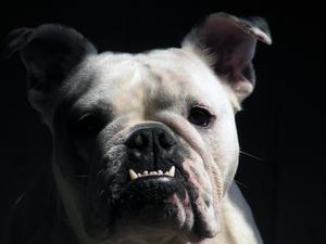 Hur att ta hand om nyfödda engelska Bulldog valpar