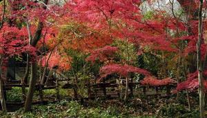 Japansk lönn följeslagare växter