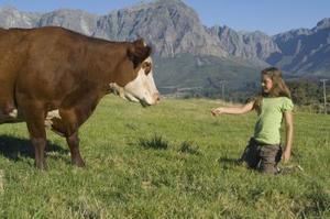 Hur att säga när en ko kommer kalv
