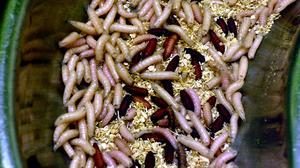 Livet cyklar av larver