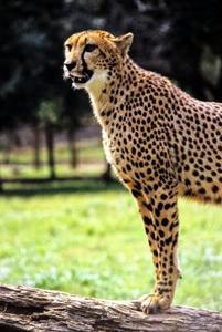Information om hur du gör en Cheetah Mask