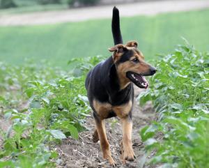 Tecken och symptom på sköldkörtelproblem hos hundar