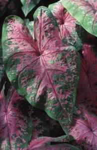 Krukväxter med stora gröna, gula och röda löv