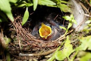 Hur kan du mata en nyfödd baby fågel?